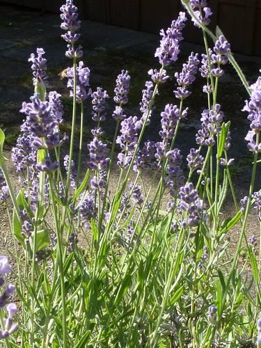 Lavendel 417