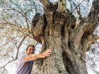 Unser aeltester Olivenbaum