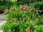 Schuster-Orchideen_bild2
