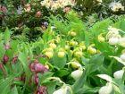 Schuster-Orchideen_bild3