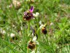 Schuster-Orchideen_bild5