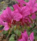 Pelargonium_endlicherianum