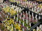 Saxifragasortiment auf einem Pflanzenmarkt