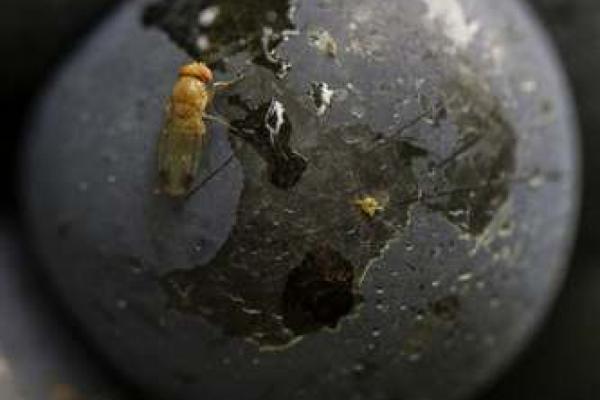 Pilz gegen Kirschessigfliege