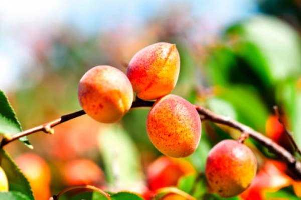Robuste Aprikosensorten