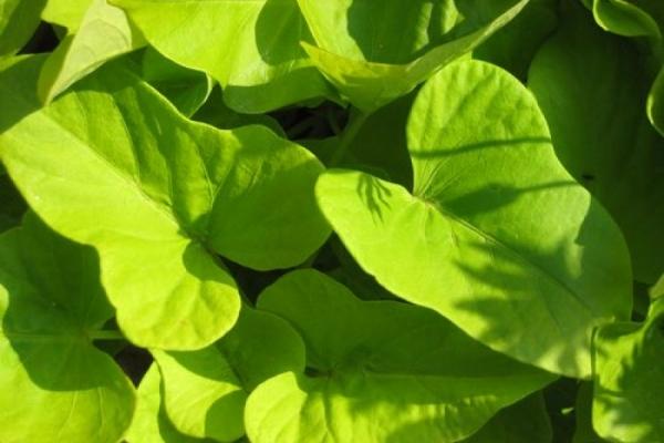 Süßkartoffelanbau im Hausgarten