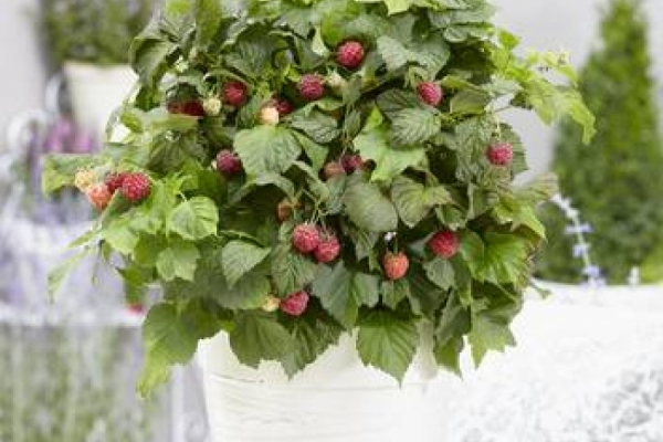 Bonbonberry® YUMMY jdeboer(S) Zwergherbsthimbeere