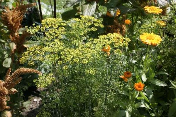 Dill's Dienste im Gemüsebeet