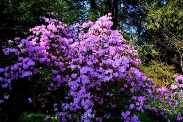 Rhododendron: Blütenstände ausbrechen