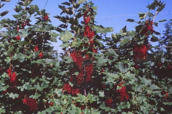 Beerenschnitt zur Ernte