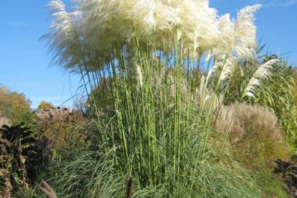 Pampasgras und andere Wintermimosen
