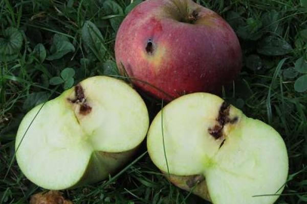 Mit Lockstoff gegen Apfelmaden
