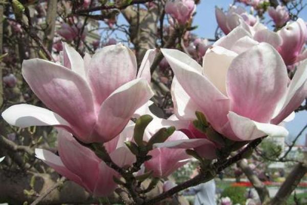 Magnolien und der Spätfrost