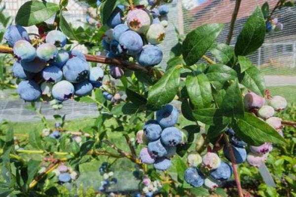 Heidelbeeren: Fichtensägemehl statt Torf
