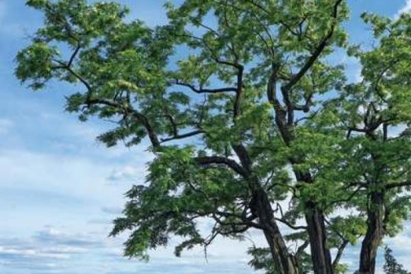 Umstrittener Baum des Jahres