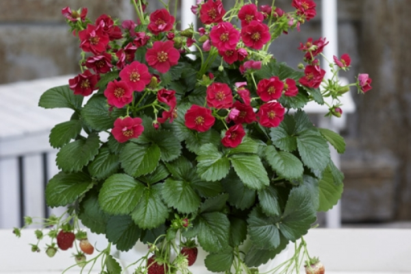 Erdbeere mit Blütenpracht