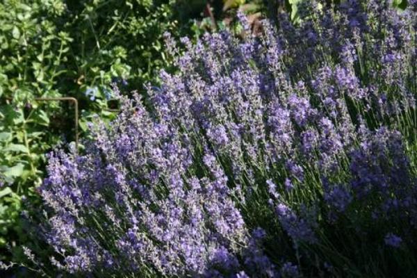 Lavendelschnitt: Nicht zu spät…