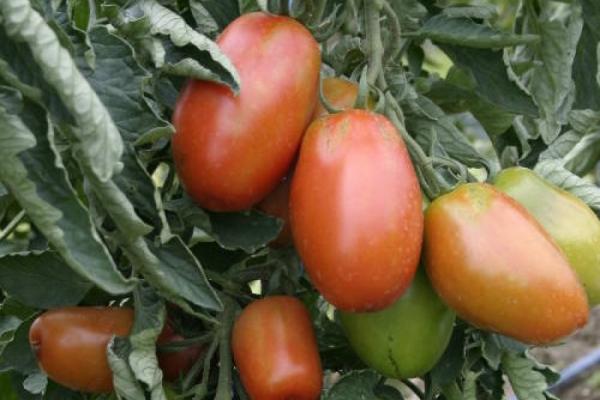 Saisonfinale der Tomaten
