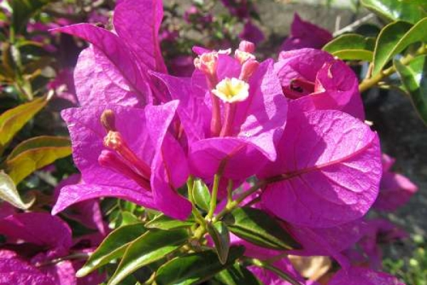 Blühwunder Bougainvillea
