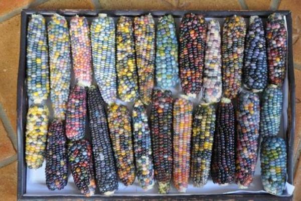 Gemüse des Jahres: Mais