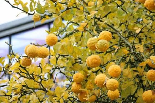 Frostfeste Zitronen