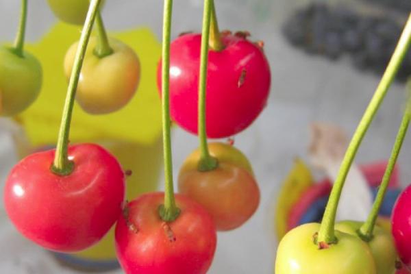 Kirschessigfliege an weichem Obst