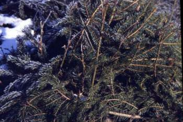 Nadelgrün als Winterschutz