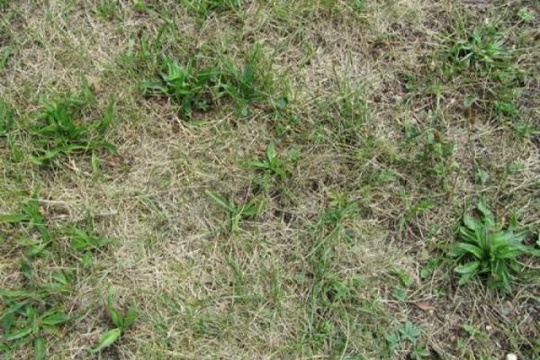 Wenn der Rasen vertrocknet