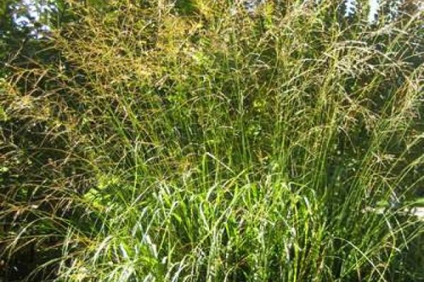 Paradezeit der Pfeifengräser