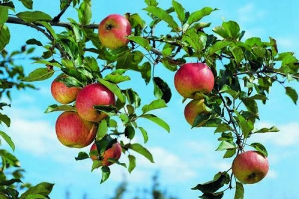 Die Heimat der Äpfel