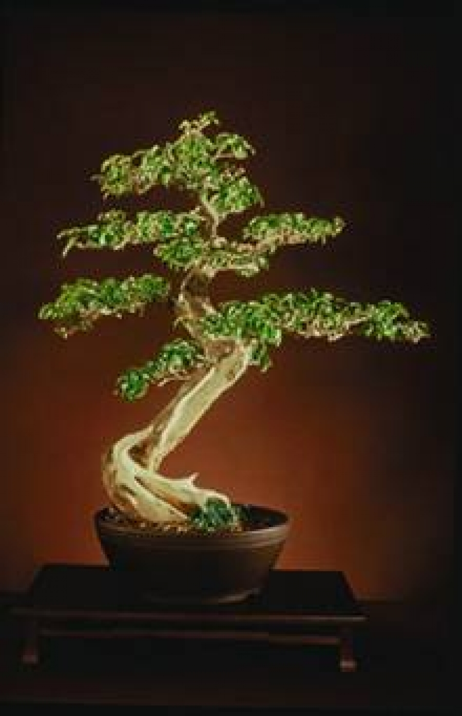 carmen 39 s bonsai garten. Black Bedroom Furniture Sets. Home Design Ideas