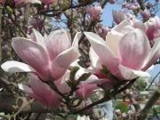 Magnolia × soulangeana 'Amabilis'