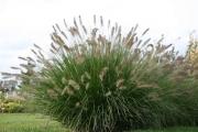 Das Lampenputzergras (Pennisetum alopecuroides 'Hameln')
