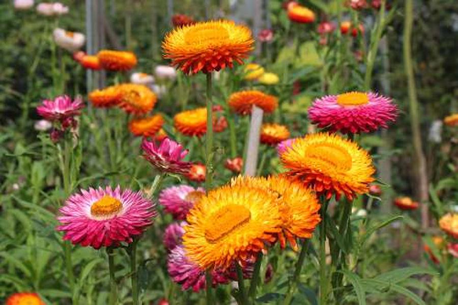 Strohblumen Trocknen trockensträuße schneiden