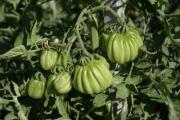 Tomate 'Zahnrad'